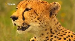 Гепард: Фатальный инстинкт / National Geographic: Cheetah: Fatal Instinct (2012)