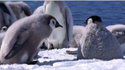 BBC: ������� - ����� ��� ���������� / Penguins - Spy In The Huddle  (2013)