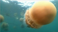 National Geographic. ������-������� / National Geographic. Monster Jellyfish (2010)